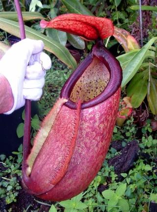 Nepenthes merrilliana, pire qu'un seau d'eau !! Dscf0011