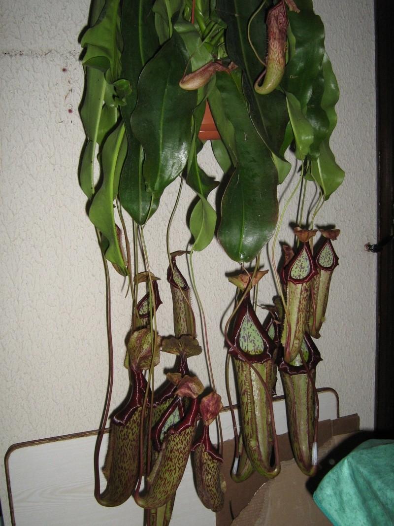 31 cm au garrot Nepent10