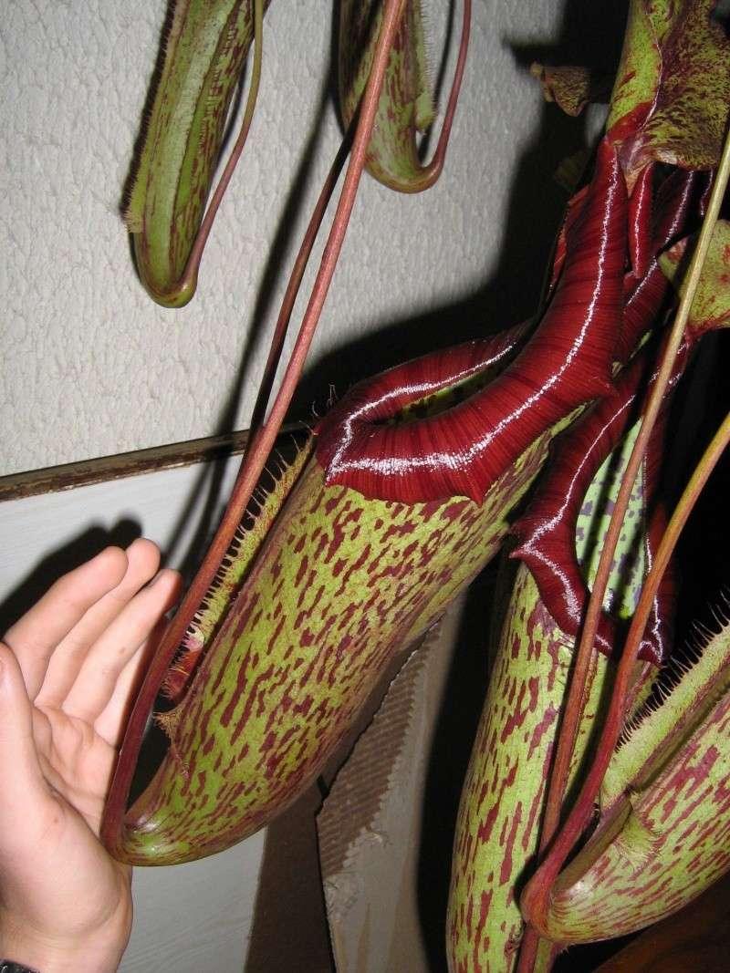 31 cm au garrot Nepent11