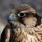 Birds of Prey Bird610
