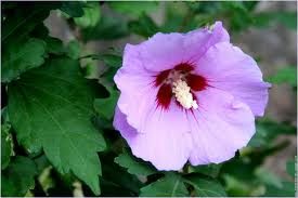 Bouturer l' Hibiscus syriacus - Page 2 Althaa10