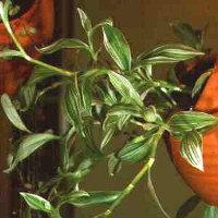 Plante pendante : ma Callisia se décolor Callis10