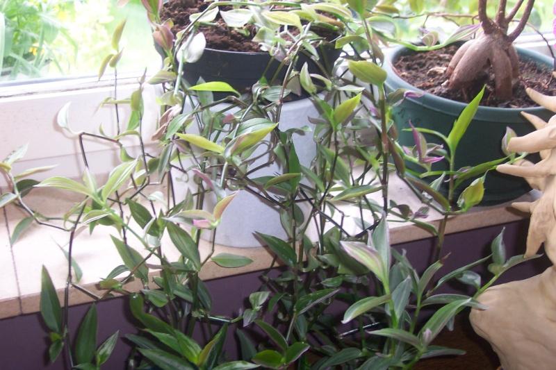 Plante pendante : ma Callisia se décolor Photo_18