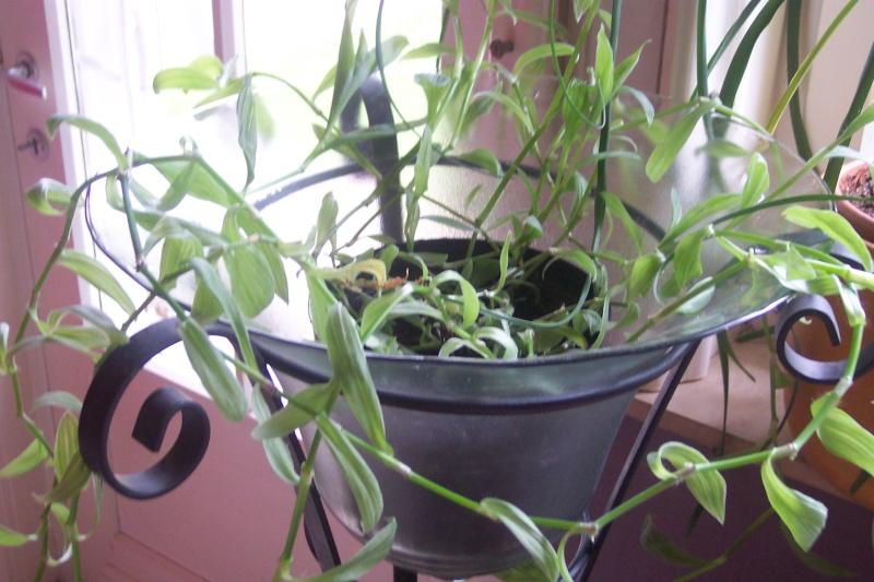 Plante pendante : ma Callisia se décolor Photo_19