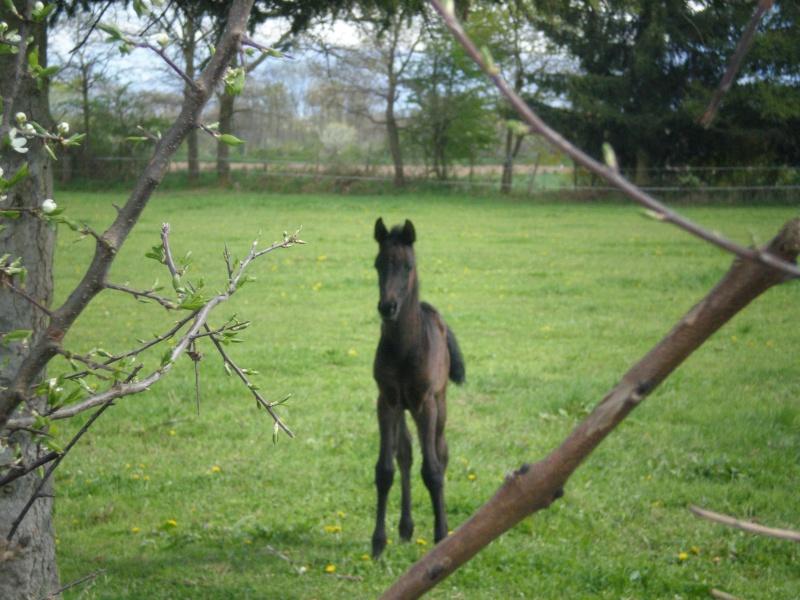 Joel, cavalier et éleveur de PS ARABE  au Grand-Lemps P4180214