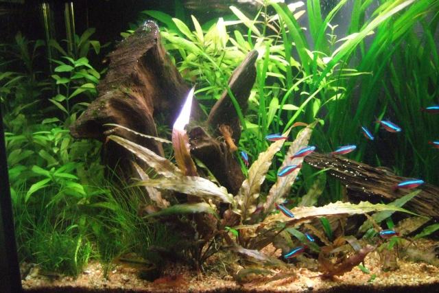 Mes aquariums - Page 6 Dscf3316