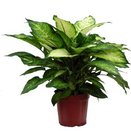(plante d'intérieur) DIeffenbachia Dieffe10
