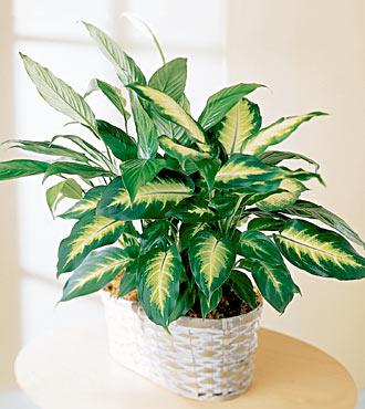 (plante d'intérieur) DIeffenbachia Gp_07_10