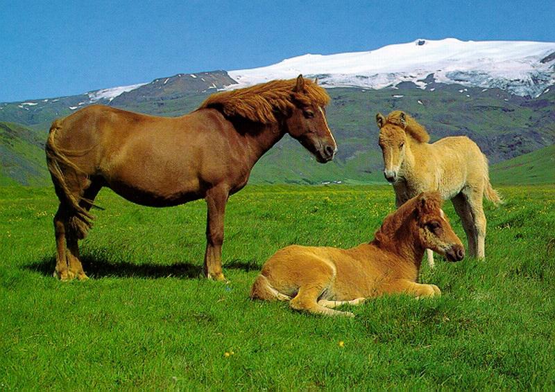 El Caballo Islandés. Icelan13