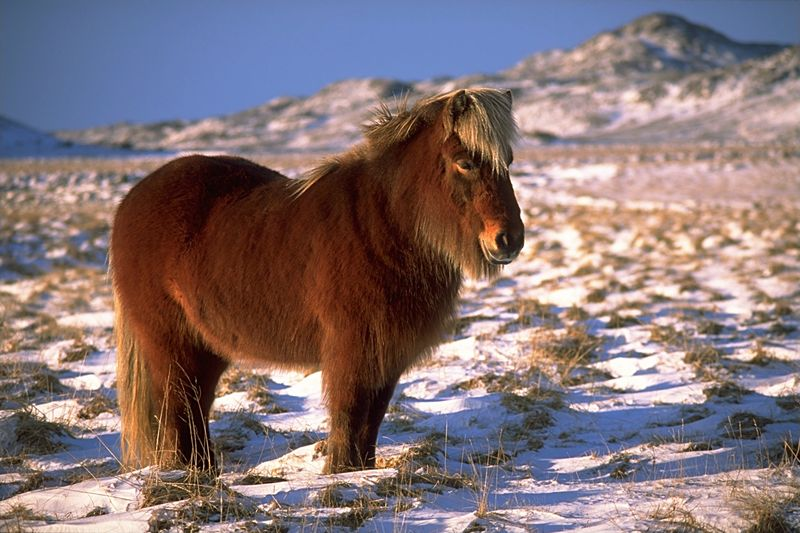 El Caballo Islandés. Icelan14