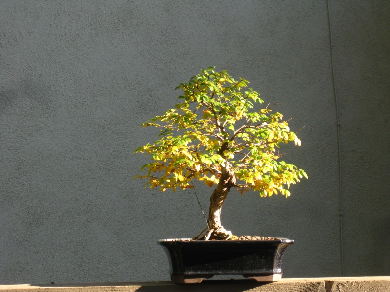 Chinese Elm Fall color Img_2015