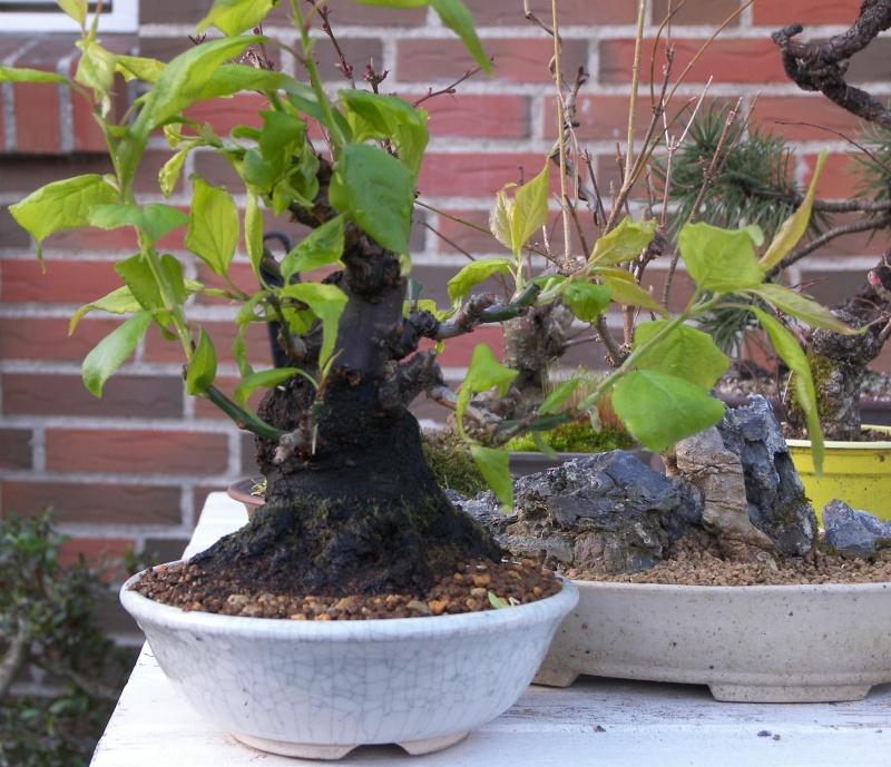 A new shohin tree UPDATE 102_3610