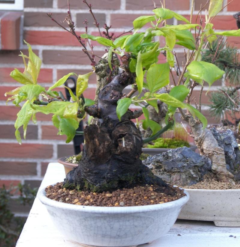 A new shohin tree UPDATE 102_3611