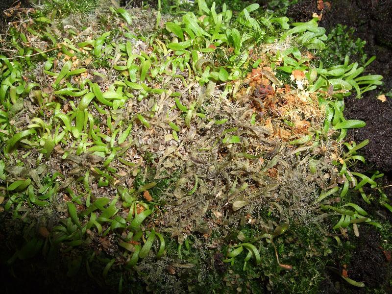 Champignon sur Utricularia bisquamata Copie_11