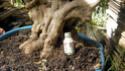 Recolección -de souvenir un olivo- Olivo013