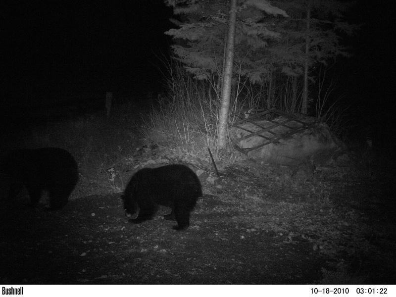 dapres vos territoire,croyez vous que l`ours est un probleme envers les veaux et foan. 02610