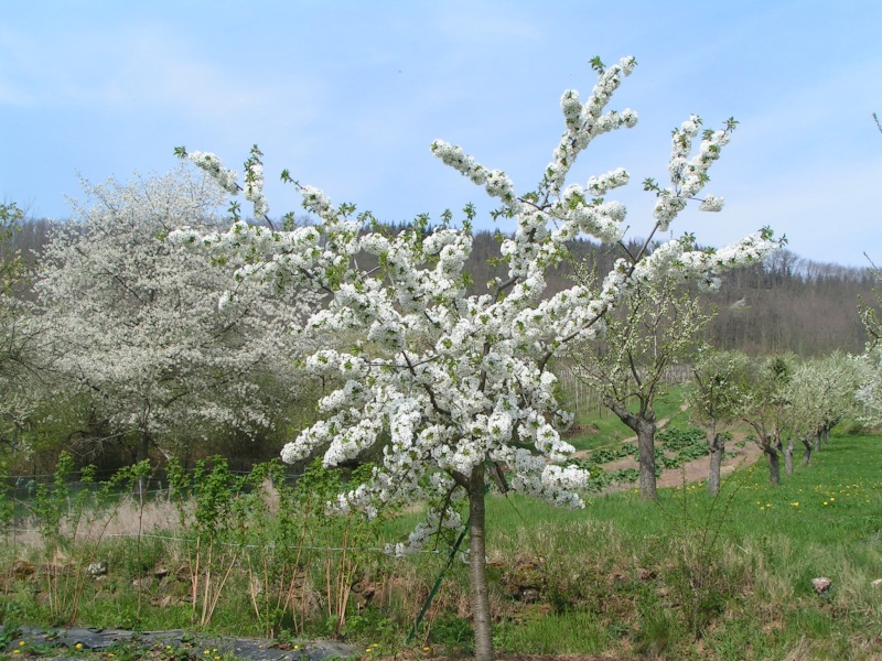 le printemps s'en vient Pict1313