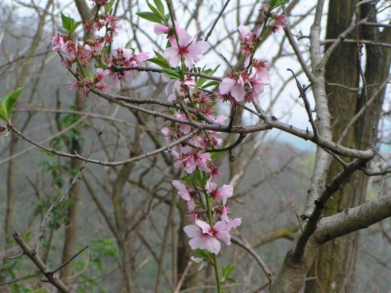 le printemps s'en vient Pict1328