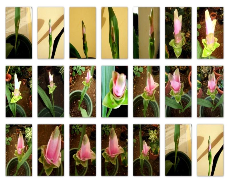 curcuma Alismatifolia ou Tulipe Thailandaise Cur10