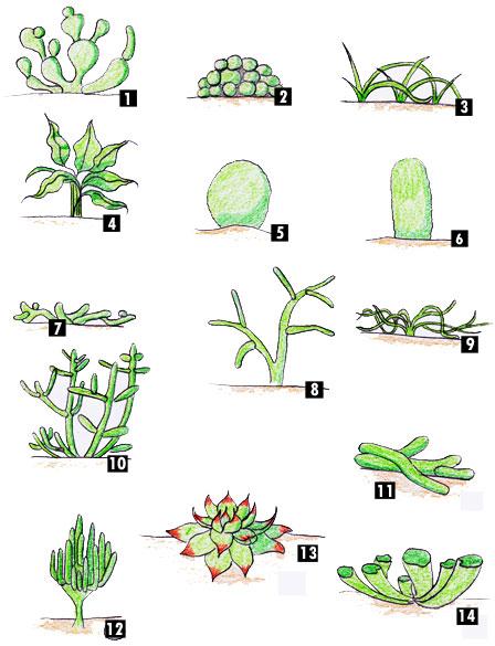 Une vue d'ensemble des succulentes Classi10