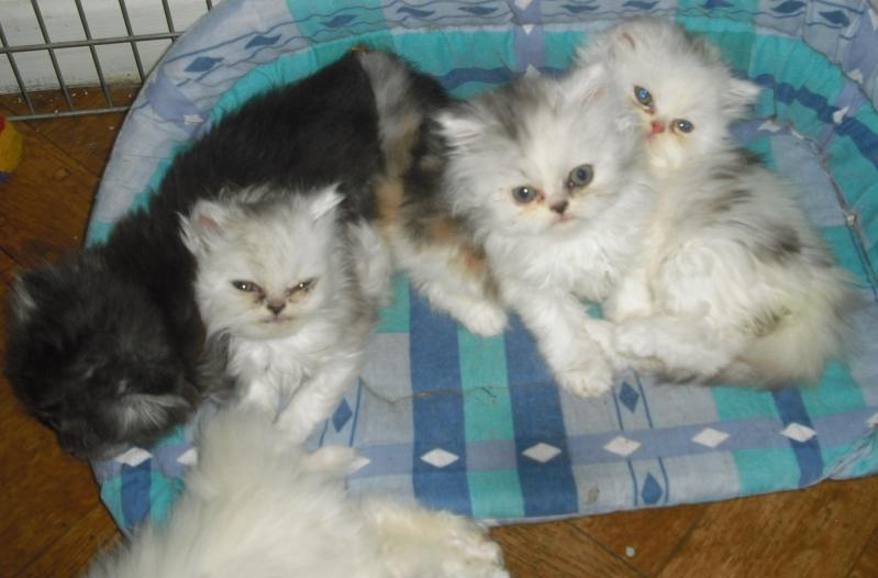 Les chatons Persan Loof a 1 mois Screen10