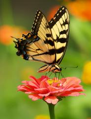 Petit Papillon, 1er essai [REUSSI] Pap10