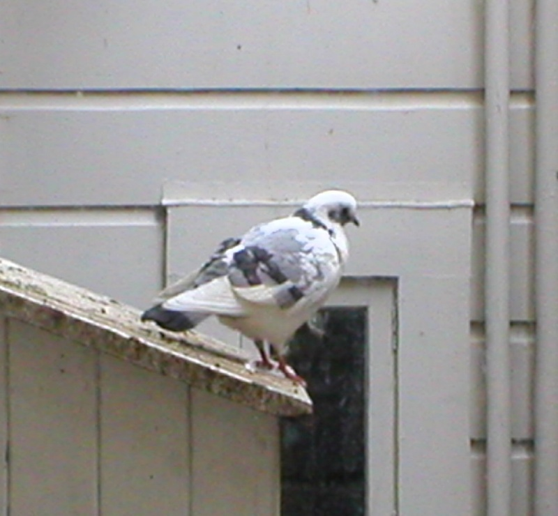 This pigeon portrait has not been manipulated, really ! Splash11