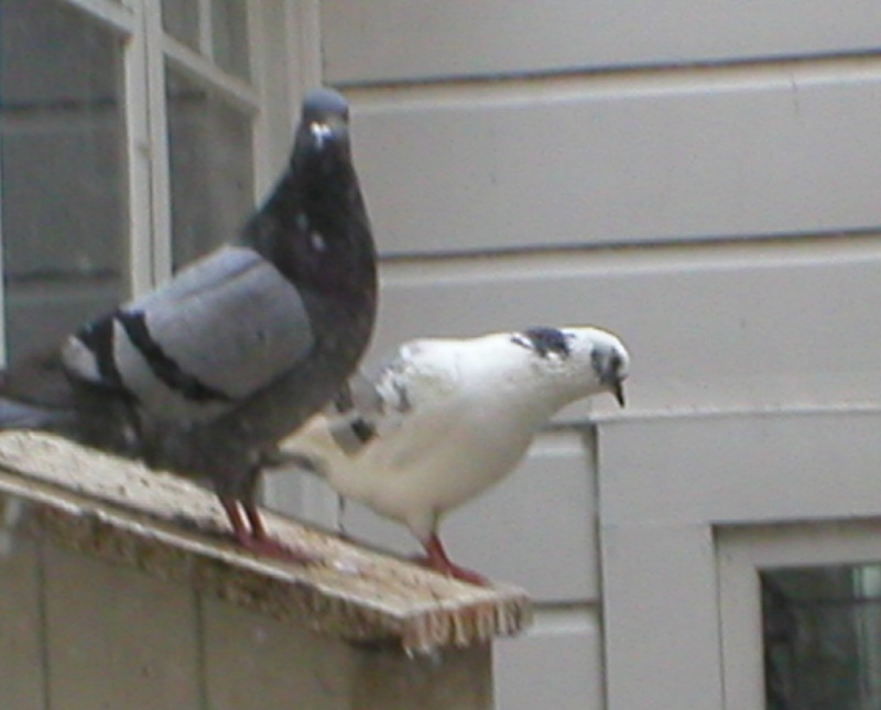 This pigeon portrait has not been manipulated, really ! Splash12
