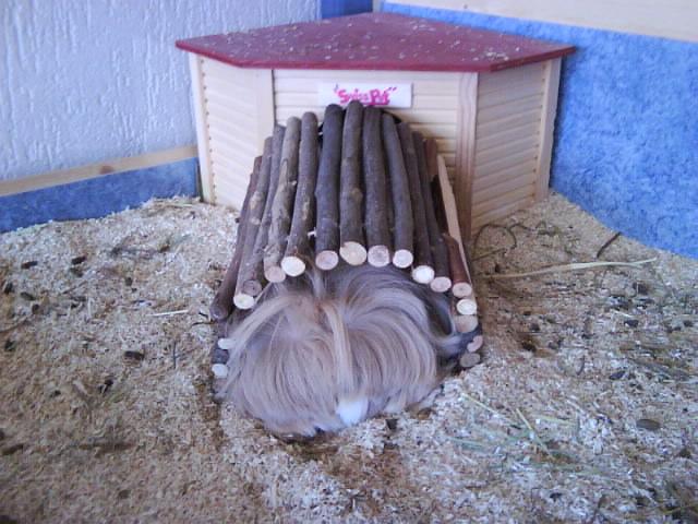 Comment est aménagé l'enclos de vos cochons d'inde? Dsc00159