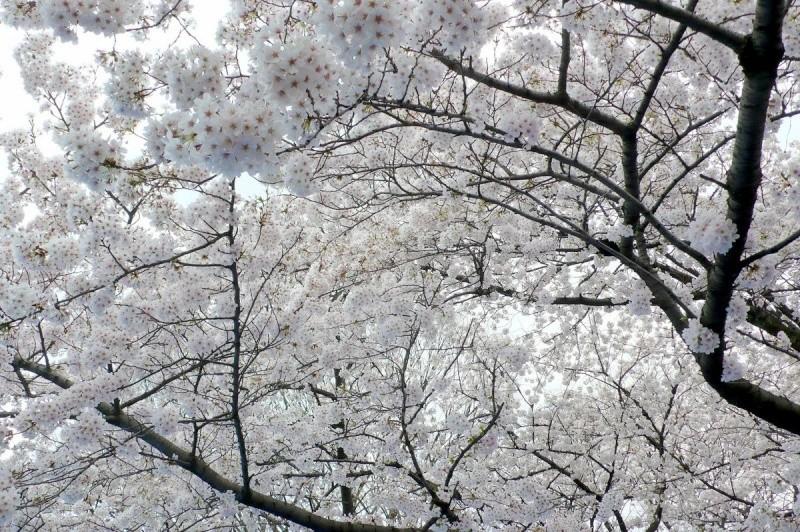 Nos pensées pour le Japon - Page 2 Fleurs10