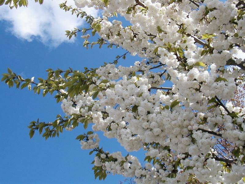 Nos pensées pour le Japon Prunus10
