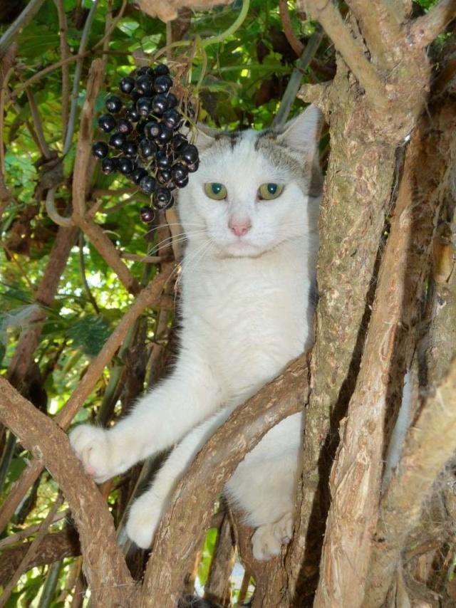Saint Julien, européenne blanche et tigrée grise (86) P1070110