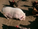 Does any one else have pigs? Trawli11