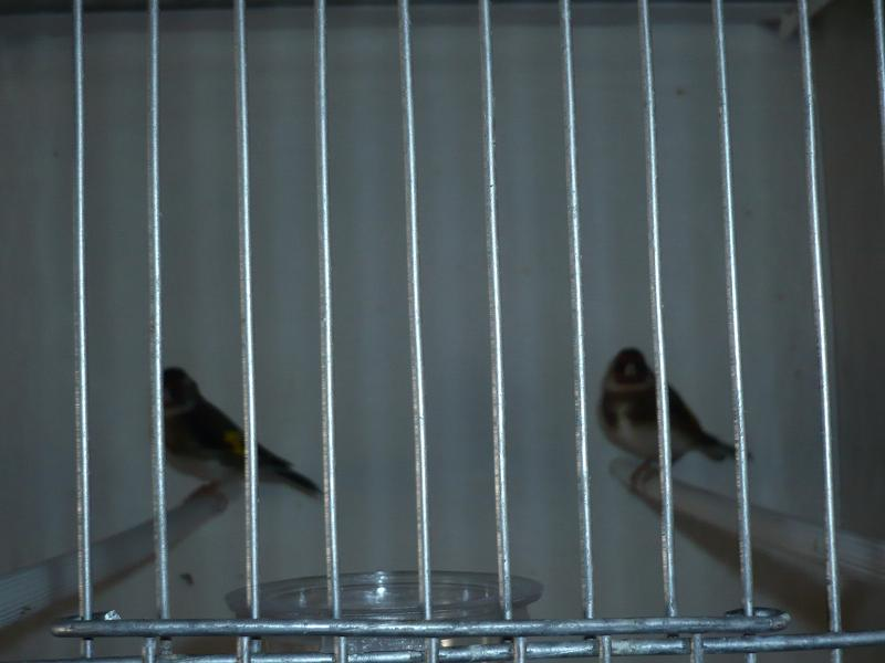 Photos de mon élevage - Page 2 Chardo10