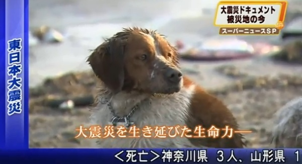 Dog in Japan after Earthquake Pictur14