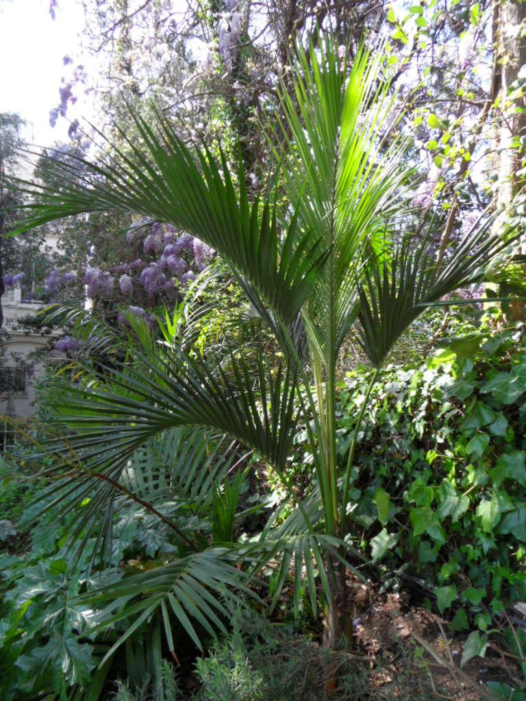 Chambeyronia macrocarpa Howea_10