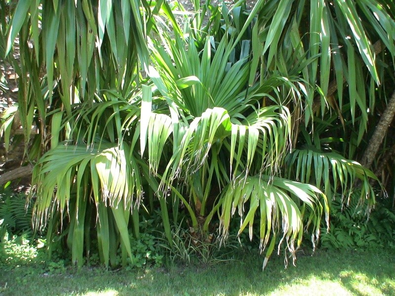 Le jardin tropical de Thierry Livist10