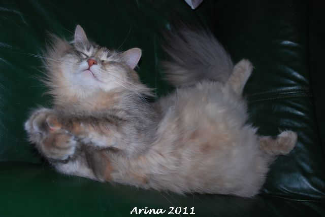Concours photo: la sibi-attitude ou le chat dans ses positions favorites! Dsc_0438