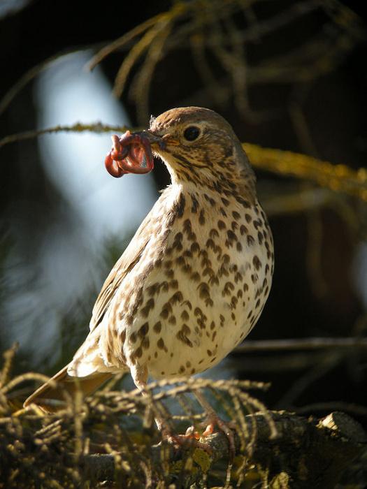 Reconnaitre les oiseaux de nos jardins... 2065l-10