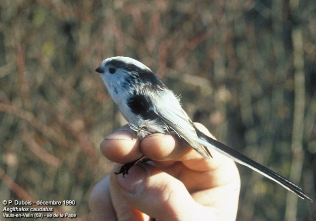 Reconnaitre les oiseaux de nos jardins... Aegith10