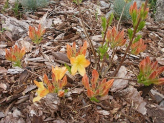 Le printemps a commencé!!!!!!!!!!!! - Page 2 Azalae10