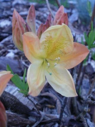 Le printemps a commencé!!!!!!!!!!!! - Page 2 Azalae11