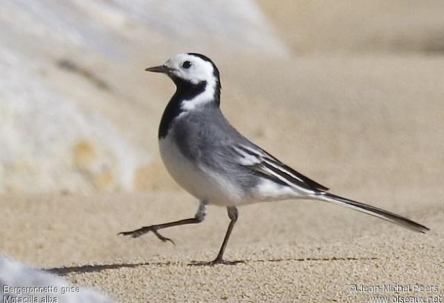 Reconnaitre les oiseaux de nos jardins... Berger10