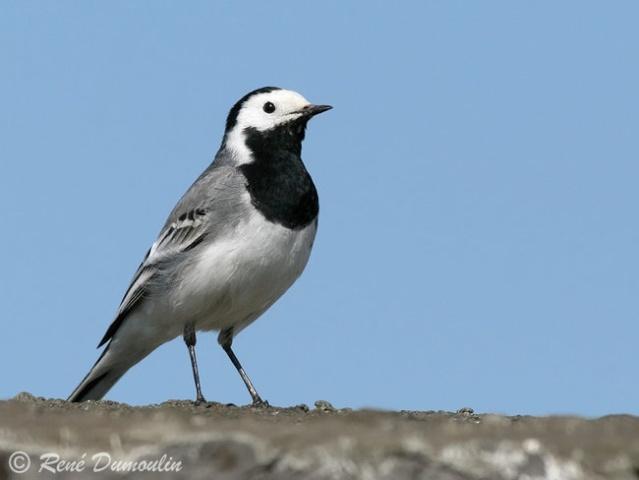 Reconnaitre les oiseaux de nos jardins... Berger11