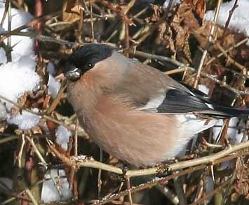 Reconnaitre les oiseaux de nos jardins... Bouvre10