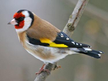 Reconnaitre les oiseaux de nos jardins... Chardo10