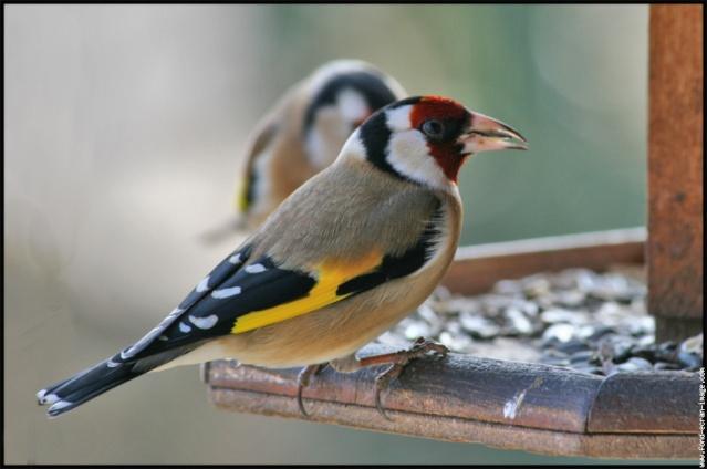 Reconnaitre les oiseaux de nos jardins... Chardo11