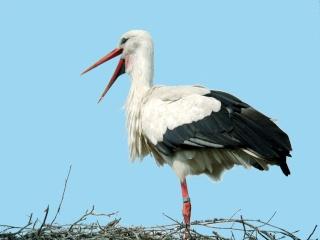 Reconnaitre les oiseaux de nos jardins... Cigogn10