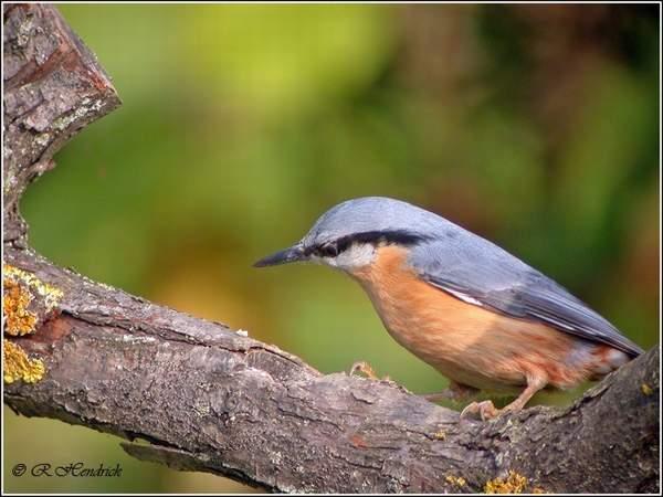 Reconnaitre les oiseaux de nos jardins... Dscn1510