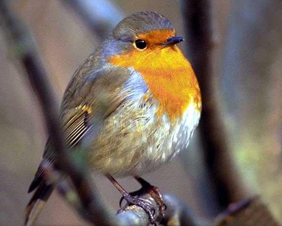 Reconnaitre les oiseaux de nos jardins... Dyn00710